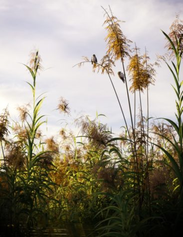 Reed Plants for Daz Studio and Iray