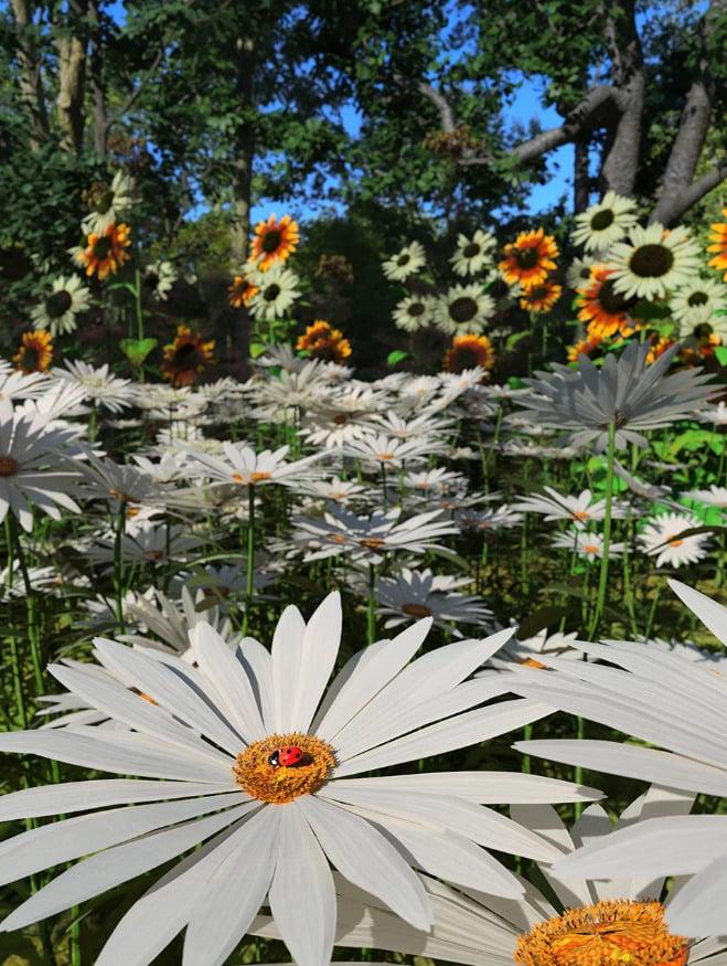 Garden Flowers - Garden Daisies