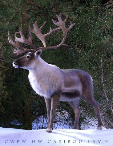 CWRW HiveWire Caribou LAMH